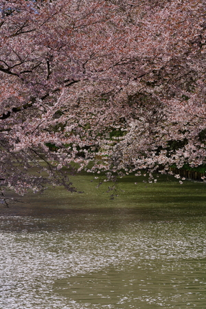 Hirosaki Cherry Blossom Festival in spring