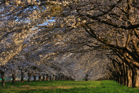 cherry trees in spring time at roadside in Japan