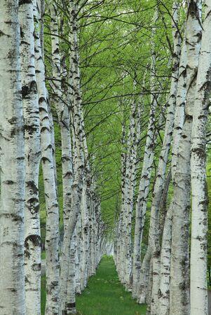 Fresh green birch trees