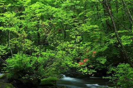 Oirase stream of fresh green. 写真素材