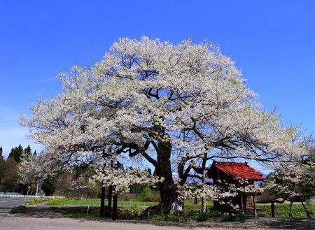 Blue sky and cherry blossoms in full bloom