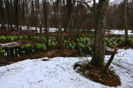 Skunk cabbage blooms in the Woods