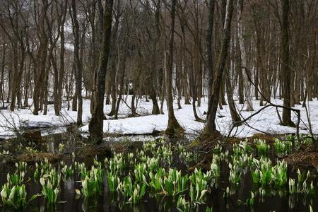 Skunk cabbage blooms in the Woods