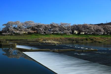 Blue sky in Miyagi Prefecture and Sakura namiki