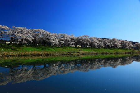 Spring cherry tree roadside trees