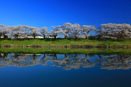 Japan cherry blossoms in spring time with reflection of water 写真素材