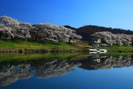 Japan cherry blossoms in spring time with reflection in water 写真素材