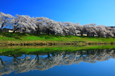 Japan cherry blossoms in spring time