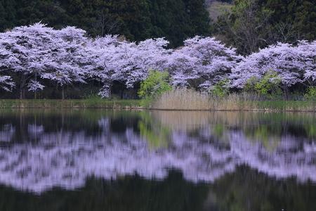 Miyagi Prefecture Sakura and Lakeside Stock fotó