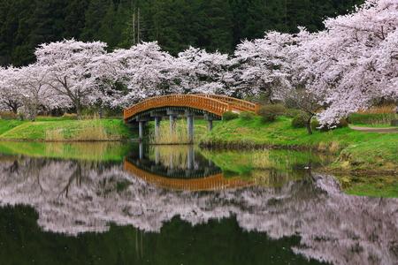 Miyagi Prefecture Sakura Lakeside Lakeside