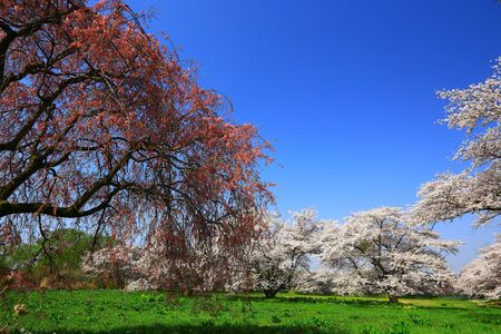Iwate Prefecture Blue sky and cherry blossom