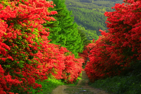 Scenery view of trees with red leaves in Japan