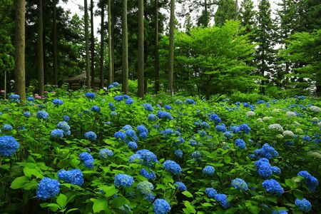 Hydrangea in the forest