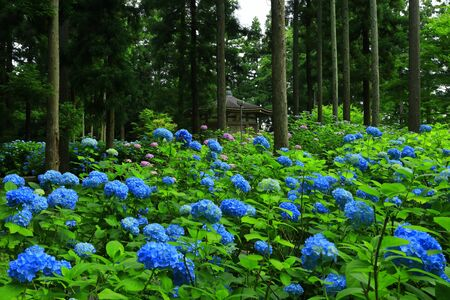 Hydrangea in the forest Stock Photo