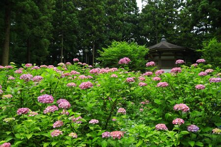 Hydrangea flowers in the forest, Iwate Prefecture