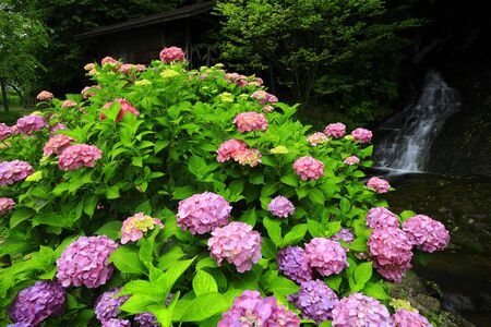 ydrangea and water mill in Kitakami City, Iwate Prefecture