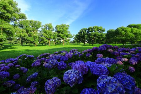 Blue sky and hydrangea