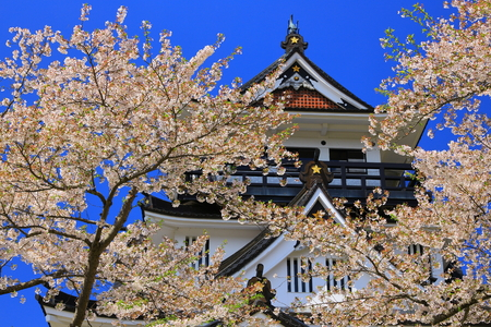 Akita Prefecture Castle and cherry blossoms 報道画像