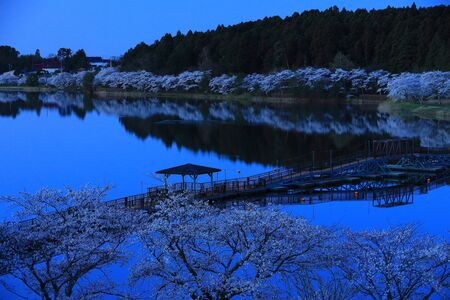 Spring Hiratsutsunuma Cherry Trees
