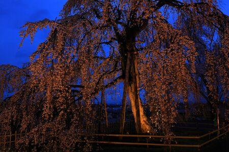 Lighting up cherry blossoms in Hanamaki City, Iwate Prefecture