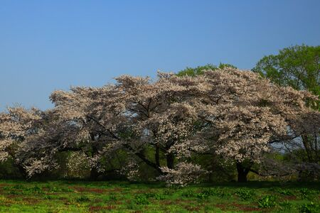 Cherry blossoms in the morning glow 写真素材