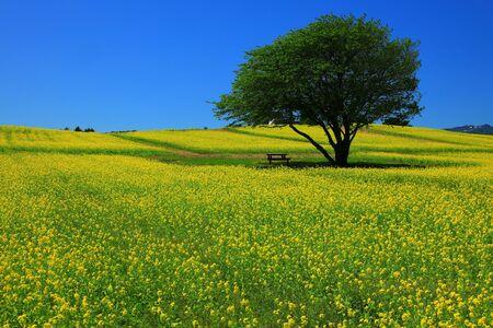 Blue sky and rape garden