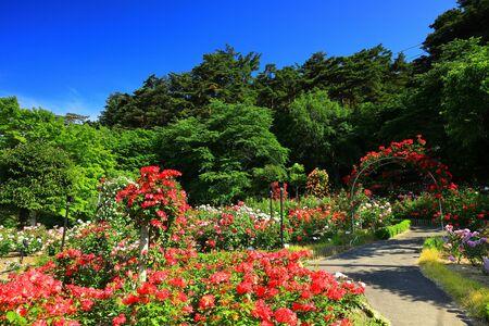 Blue Sky and Rose Garden