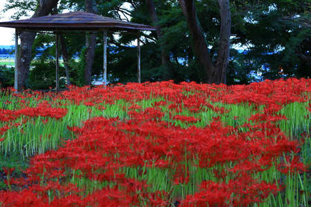 Higan flower in full bloom, Osaki City, Miyagi Prefecture