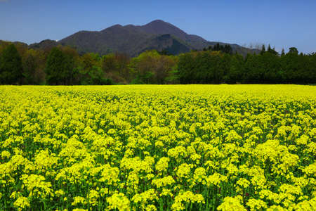 Iwate Prefecture Blue Sky and Rape Blossoms in Full Bloom