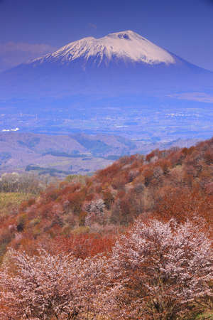 Mountain cherry blossoms in full bloom, Morioka City, Iwate Prefecture