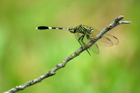 anisoptera: dragonfly - ictinogomphus decoratus melaenops