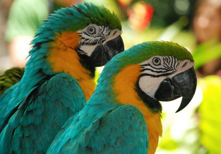 the two parrots: macaw blue love birds