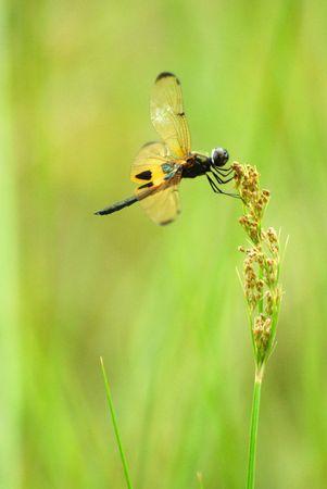 anisoptera: dragonfly (rhyothemis phyllis)
