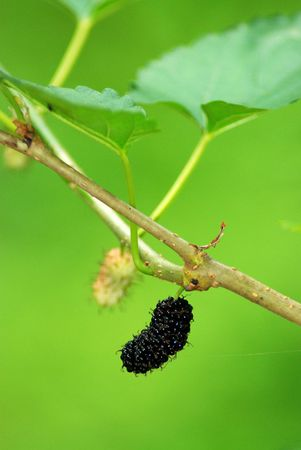 Mulberries in a tree photo