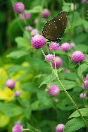 globosa: butterfly in a Pink Globe Amaranth flower (Gomphrena globosa flower)