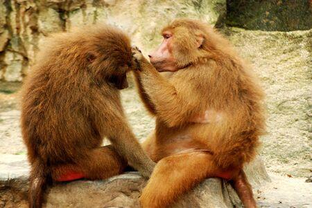 affectionate action: Dos monos haciendo el amor en un parque zool�gico Foto de archivo