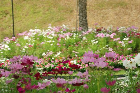 View of a colourful cosmos flower garden at Singapore