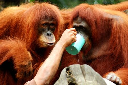 orang: Portrait of Orang Utans monkey in the zoo