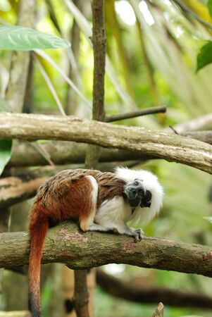 cotton top tamarin monkey in the park photo