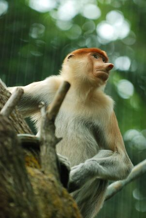 proboscis: A proboscis monkey in the tree at park Stock Photo