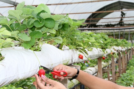 harvesting of strawberry fruit from the field photo