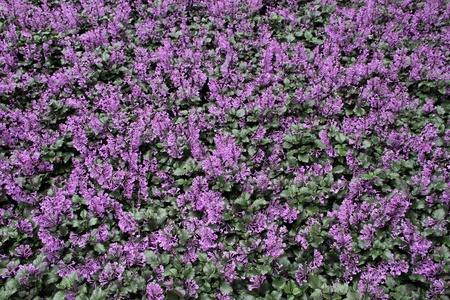 virágágy: lila virágágyás háttér