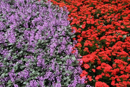 full grown: purple and red flower bed background