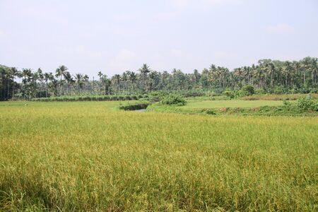 agriculture india: A view of rural area paddy field ready for harvest Stock Photo