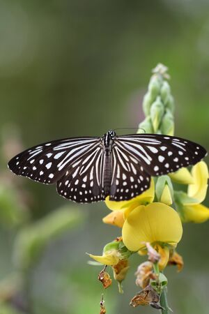 black and white Butterfly in a yellow flower photo