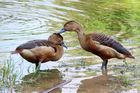 intimacy: Two whistling ducks in a pond intimacy Stock Photo