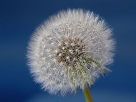 A dandelion on a blue background
