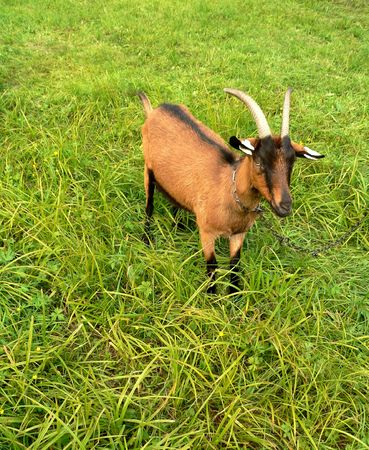 teats: Chained goat brown-black color on green grass