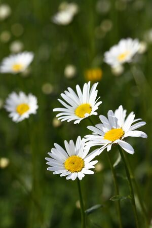 Beautiful daisies on a background of green grass.
