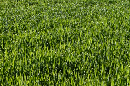 Image of natural green grass field in high resolution. photo